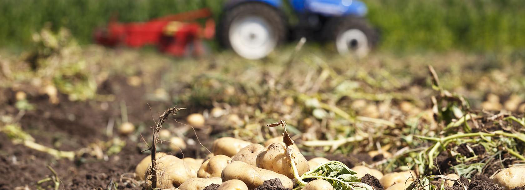 Kartoffeln aus eigenem Anbau – Sonnenhof Stuttgart