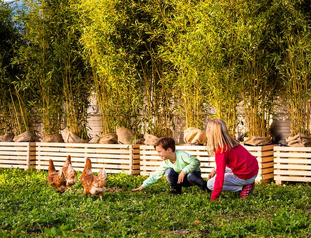 Freiland-Hühner