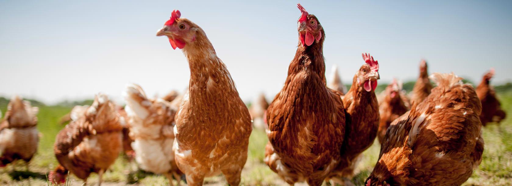 Glückliche Hühner auf dem Sonnenhof