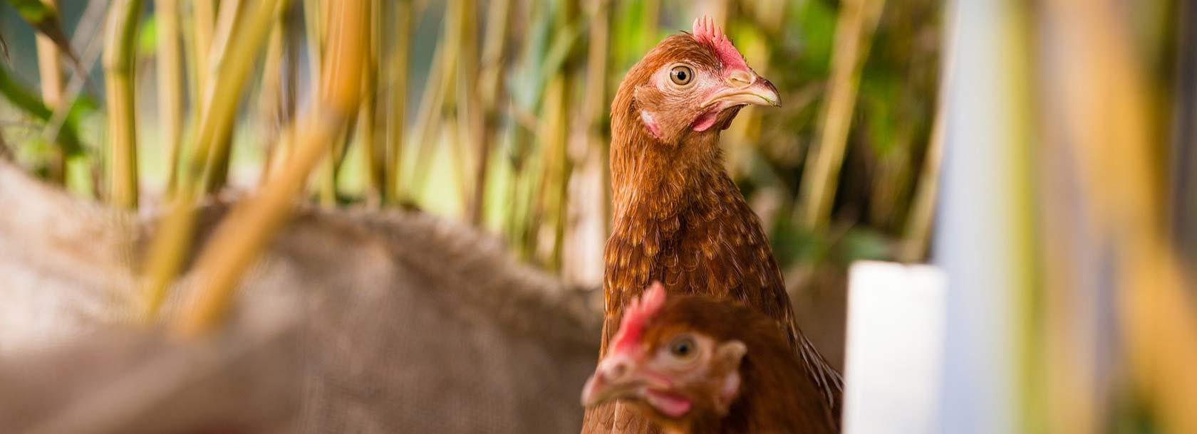 Freilandhaltung Hühner auf dem Sonnenhof